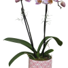Coloured Phalaenopsis Orchid Plant